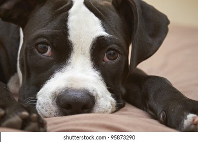 Close-up mischievous expression of young black and white Pit Bull puppy