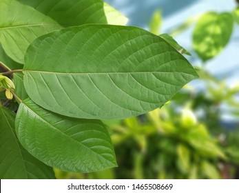 Closeup Mitragynine, Mitragyna speciosa, Kratom green leaf is tropical evergreen tree, blurred background