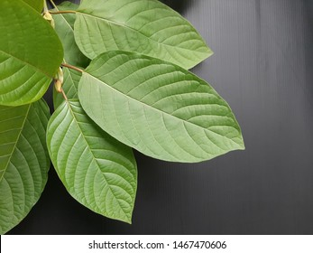 Closeup Mitragynine, Mitragyna speciosa, Kratom green leaves is tropical evergreen tree isolated on black background