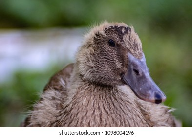closeup of molting duck