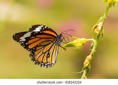 Closeup Monarch Butterfly on a flower