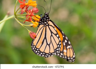 A closeup of a monarch butterfly's profile, clinging to an interesting orange and red flower.