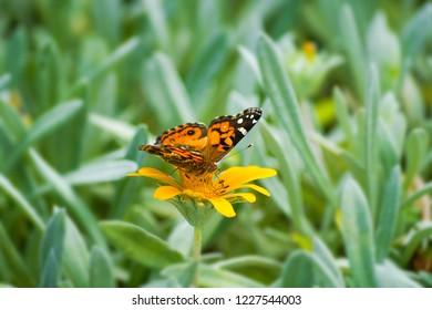 Close-up of a Monarch (Danaus plexippus) Butterfly on a yellow Flower.