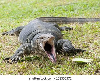 Closeup of monitor lizard - Varanus on green grass focus on the varanus eye.
