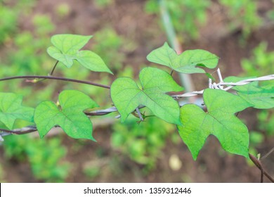 Closeup morning glory green leaves (Ipomoea Purpurea Roth) are climbing with the barbed wire in vegetable garden