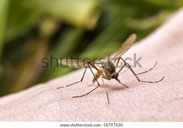 close-up of mosquito sucking blood