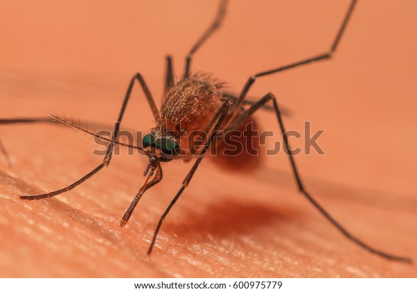 Close-up of a mosquito sucking blood selective focus