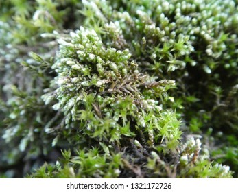 closeup from a moss plant
