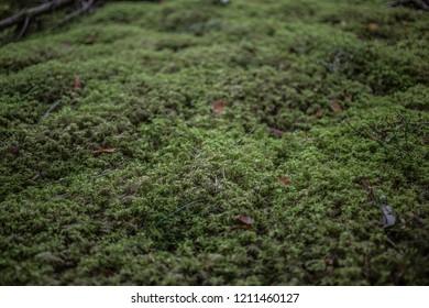 Closeup of moss in a Scandinavian forest
