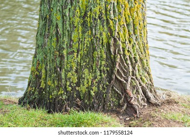 Closeup of mossy greenish tree trunk and river in the background.