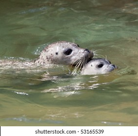 Closeup of a mother and baby seal swimming