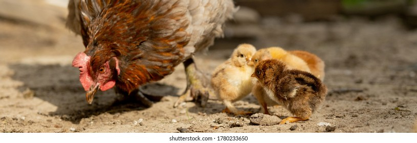 Closeup of a mother chicken with its baby chicks on the farm. Hen with baby chickens.