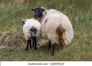 Closeup of Mother and Child - Mayo Mountain Sheep, Ireland