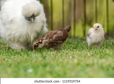 Close-up of a mother Silkie hen seen with one of her own off white coloured chicks and a nearby Wyandotte chick which belongs to a nearby Wyandotte hen.