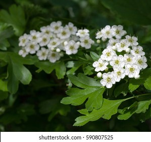 Closeup of motherdie (Crataegus monogyna) brunch florescence over green leaves background