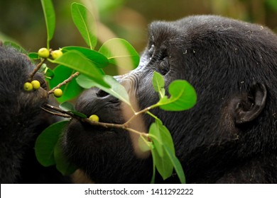 Close-up of a Mountain Gorilla (Gorilla beringei beringei) Feeding on Berries. Bwindi Impenetrable National Park, Uganda