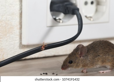 Closeup mouse sits near chewed wire  and electrical outlet in an apartment kitchen . Inside high-rise buildings. Fight with mice in the apartment. Extermination. Small DOF.