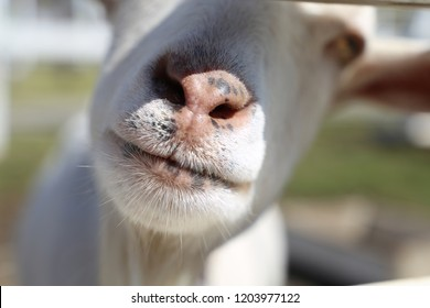Close-up of the mouth of a goat