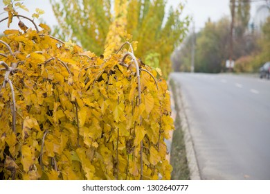 Close-up of mulberry is covered yellow leaves. Autumn city landscape.