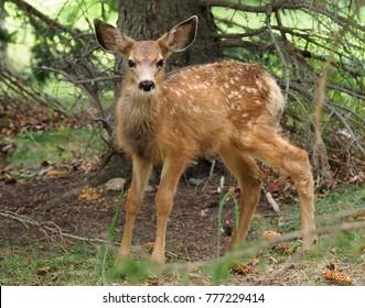 Closeup of Mule Deer Fawn