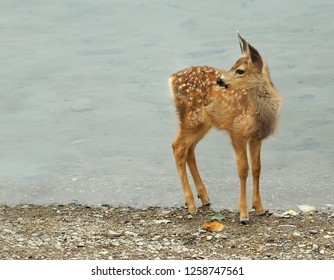 Closeup of a Mule Deer Fawn Looking Bavck While Standing at the Lake Shoreline