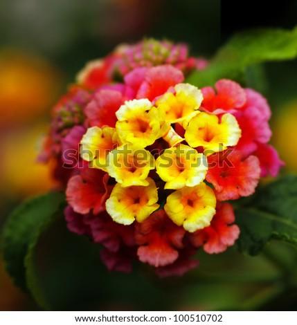 Closeup Multi Colored Lantana Flowers Yellow Stock Photo Edit Now