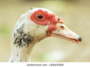 Close-up Muscovy duck's face.