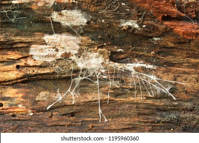 Closeup of a mushroom mycelium on wood