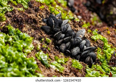Closeup of Mussels and seaweed