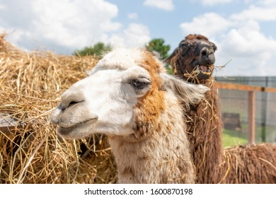 Closeup of a muzzle of light and brown llama. 2019