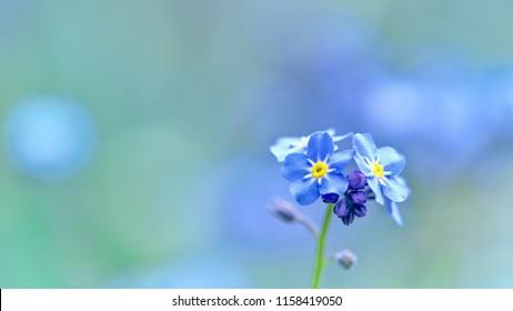 Closeup of Myosotis sylvatica, litle blue flowers on a blurred background