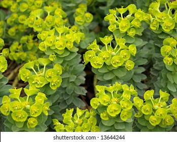 "Close-up of Myrtle Euphorbia ""Euphorbia myrsinites"""