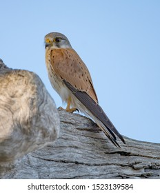 Closeup of a Nankeen Kestrel