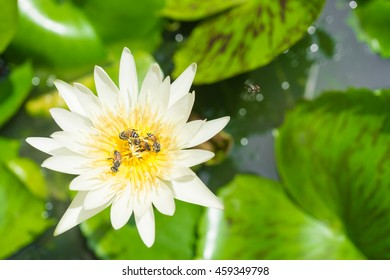 Closeup natural view of white lotus and honey bees  with copy space using as nature background or wallpaper.