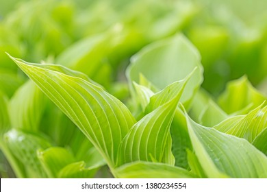Closeup natural young green leaf on blurred greenery background in garden. Hosta leaf close-up. Hosta - an ornamental plant for landscaping park and garden design. Fresh green hosta leaves,