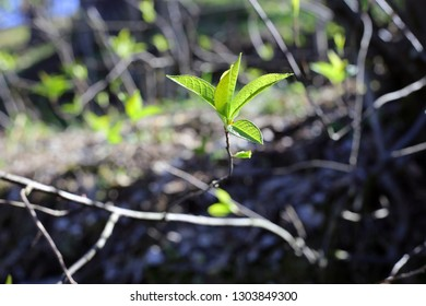 A closeup of nature during the spring. In this photo you can see beautiful green fresh leaves growing from three branches. These are the first little leaves of the spring. Photographed in Finland.