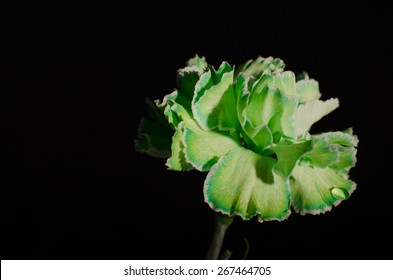 A close-up nature photograph of a full green colored Carnation bloom against a solid black background.