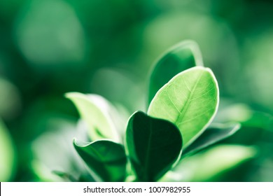Closeup nature view of dark green leaf on sunlight, natural dark green plants using as a background or wallpaper