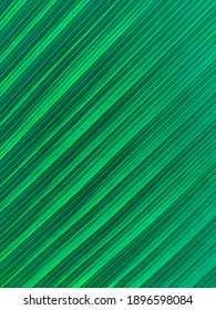 Closeup nature view of green coconut leaf background concept .