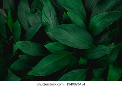 closeup nature view of green leaf in garden, dark tone nature background, tropical leaf