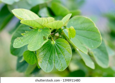 Closeup nature view of green leaf on blurred greenery background.Fresh Bauhinia purpurea bud and leaves. Bauhinia purpurea plantations.