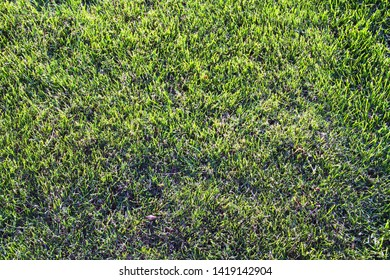 Closeup nature view of green leaf grass in garden at summer. Natural green grass landscape using as a background or wallpaper