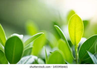 Closeup nature view of green leaf in garden at spring under sunlight. Natural green plants landscape using as a background or wallpaper.