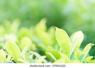 Closeup nature view of green leaf in garden at summer under sunlight. Natural green plants landscape using as a background or wallpaper.
