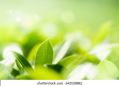 Closeup nature view of green leaf in garden at summer under sunlight. Natural greenery plants landscape to be used as a background or wallpaper.
