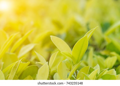 Closeup nature view of green leaf in garden at summer under sunlight