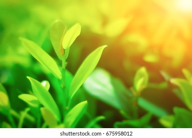 Closeup nature view of green tea leaf in garden at summer under sunlight. Natural green plant landscape concepts : background, decorate web pages, book covers, interior and billboards.