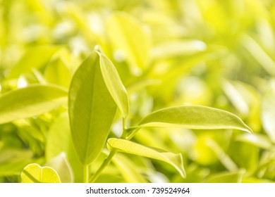 Closeup nature view of green-yellow leaflet. Sunlight makes it look transparent.Background blur