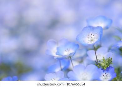Closeup of the Nemophila Flowers or Baby Blue Eye Flowers at the Hitachi Seaside Park in  Ibaraki, Japan.