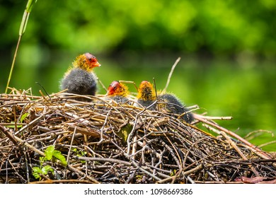 Closeup of a nest with Eurasian coot, Fulica atra, chicks on a colorful and sunny day during Spring being fed by a parent. Low point of view